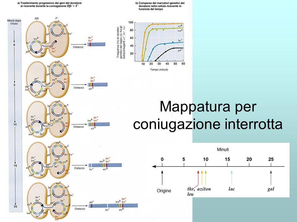 Mappatura per coniugazione interrotta
