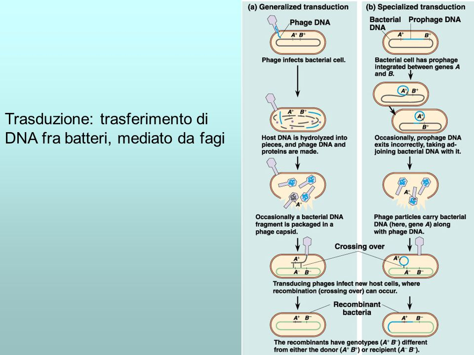 Trasduzione: trasferimento di DNA fra batteri, mediato da fagi