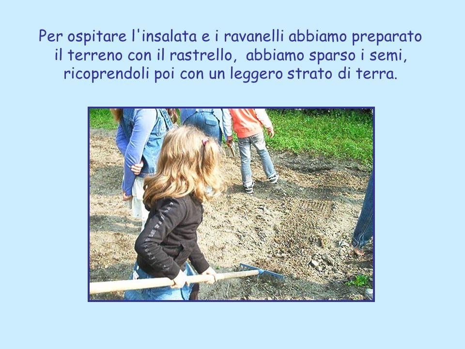 Per ospitare l insalata e i ravanelli abbiamo preparato il terreno con il rastrello, abbiamo sparso i semi, ricoprendoli poi con un leggero strato di terra.