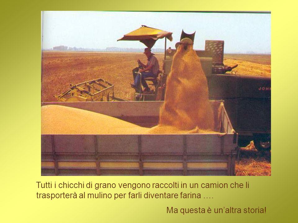 Tutti i chicchi di grano vengono raccolti in un camion che li trasporterà al mulino per farli diventare farina ….
