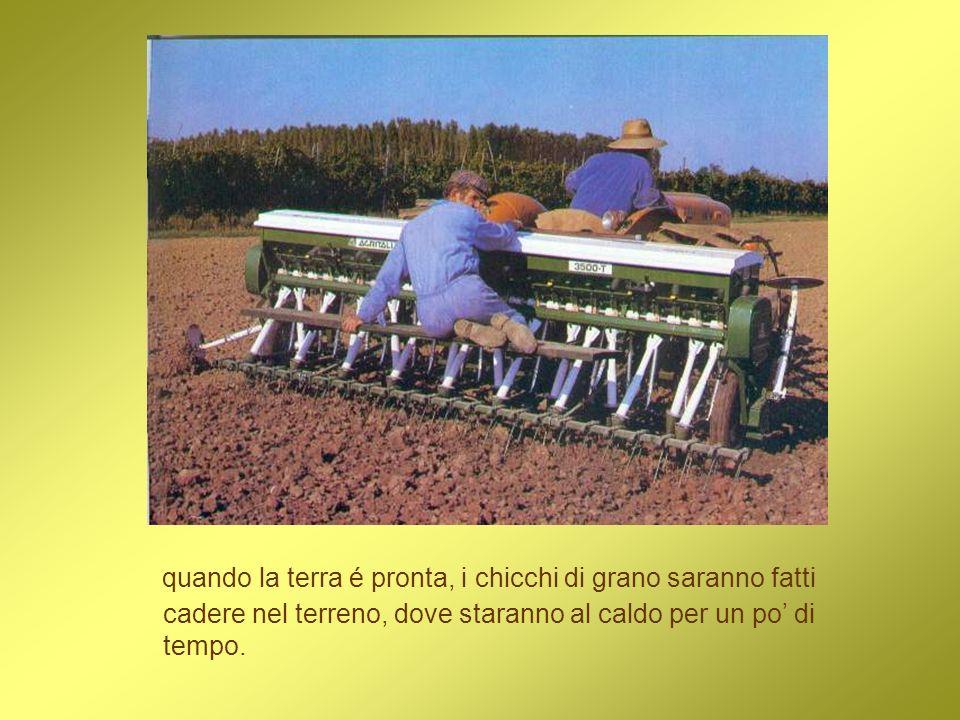 quando la terra é pronta, i chicchi di grano saranno fatti cadere nel terreno, dove staranno al caldo per un po' di tempo.