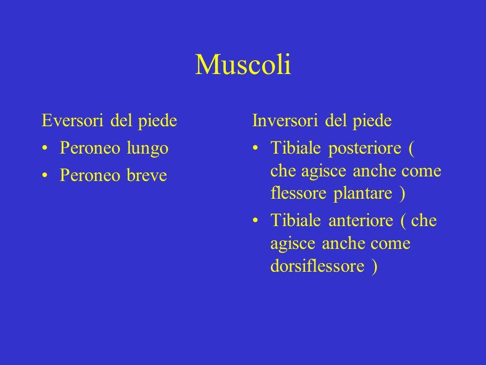 Muscoli Eversori del piede Peroneo lungo Peroneo breve