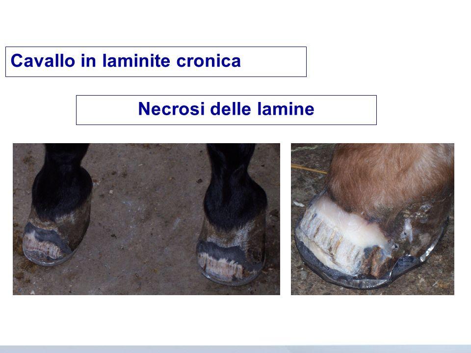Cavallo in laminite cronica
