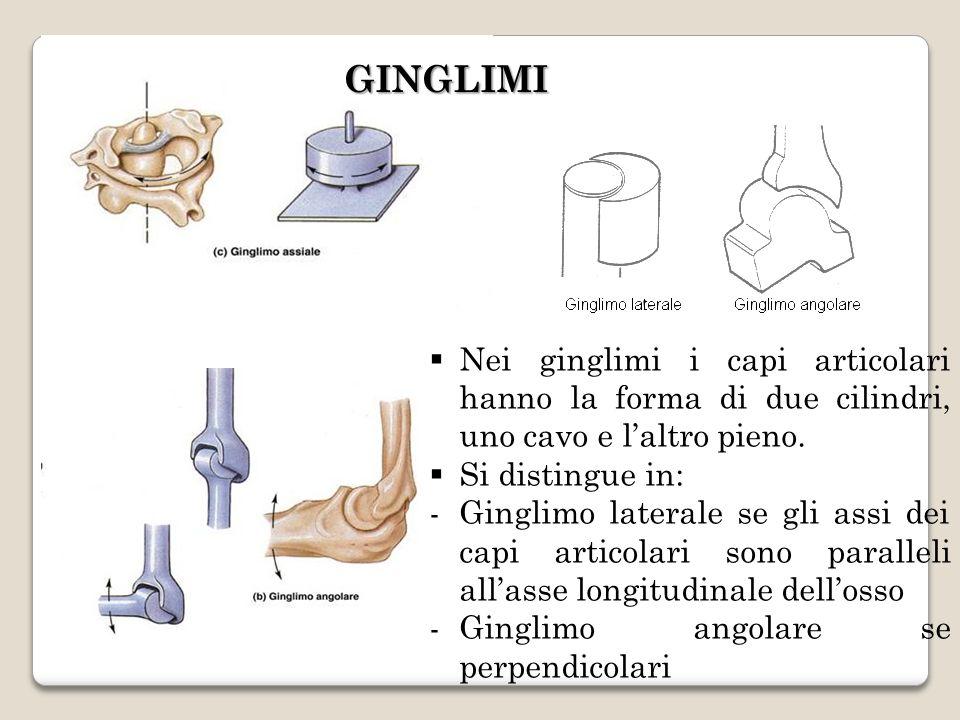 GINGLIMI Nei ginglimi i capi articolari hanno la forma di due cilindri, uno cavo e l'altro pieno. Si distingue in: