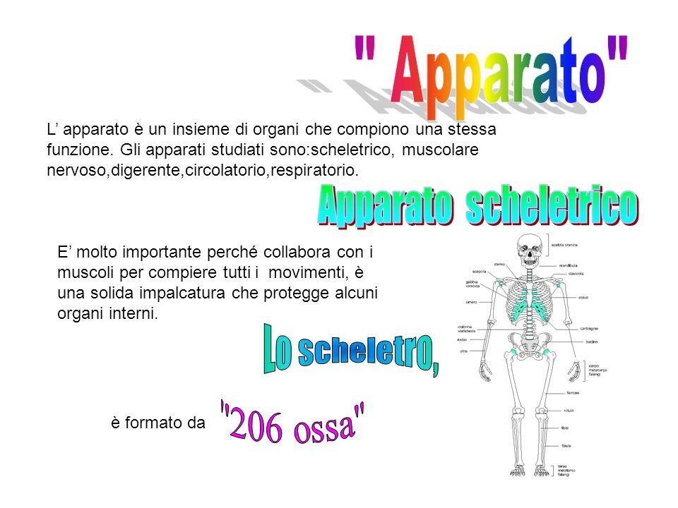 Apparato Apparato scheletrico Lo scheletro, 206 ossa