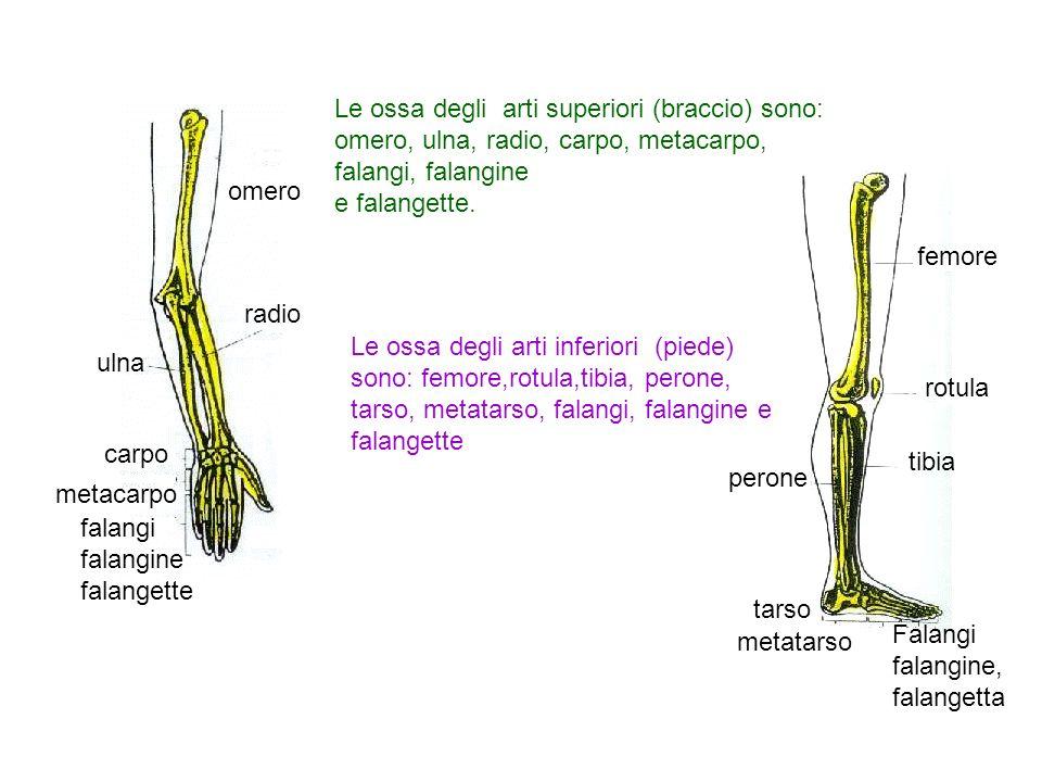 Le ossa degli arti superiori (braccio) sono: