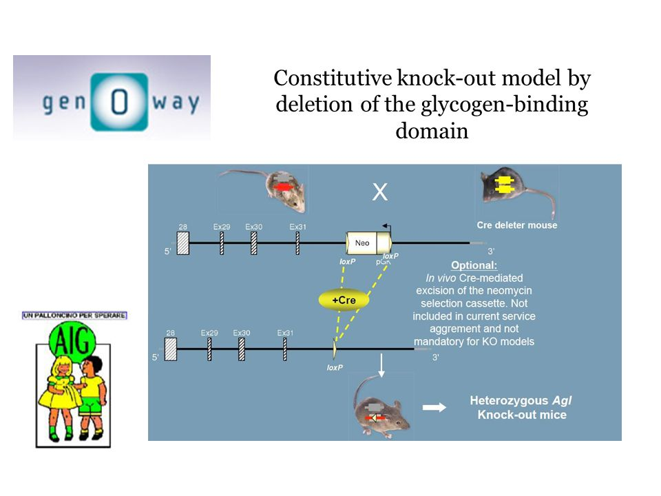 Constitutive knock-out model by deletion of the glycogen-binding domain