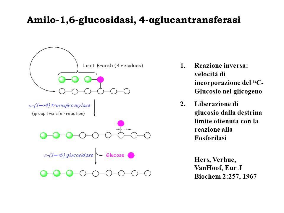 Amilo-1,6-glucosidasi, 4-αglucantransferasi