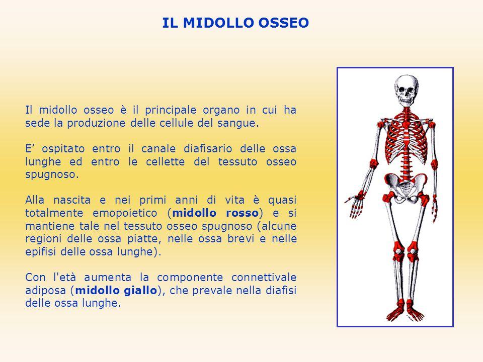 IL MIDOLLO OSSEOIl midollo osseo è il principale organo in cui ha sede la produzione delle cellule del sangue.
