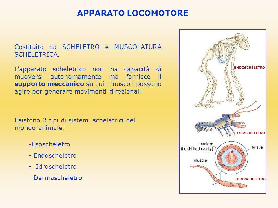 APPARATO LOCOMOTORE Costituito da SCHELETRO e MUSCOLATURA SCHELETRICA.