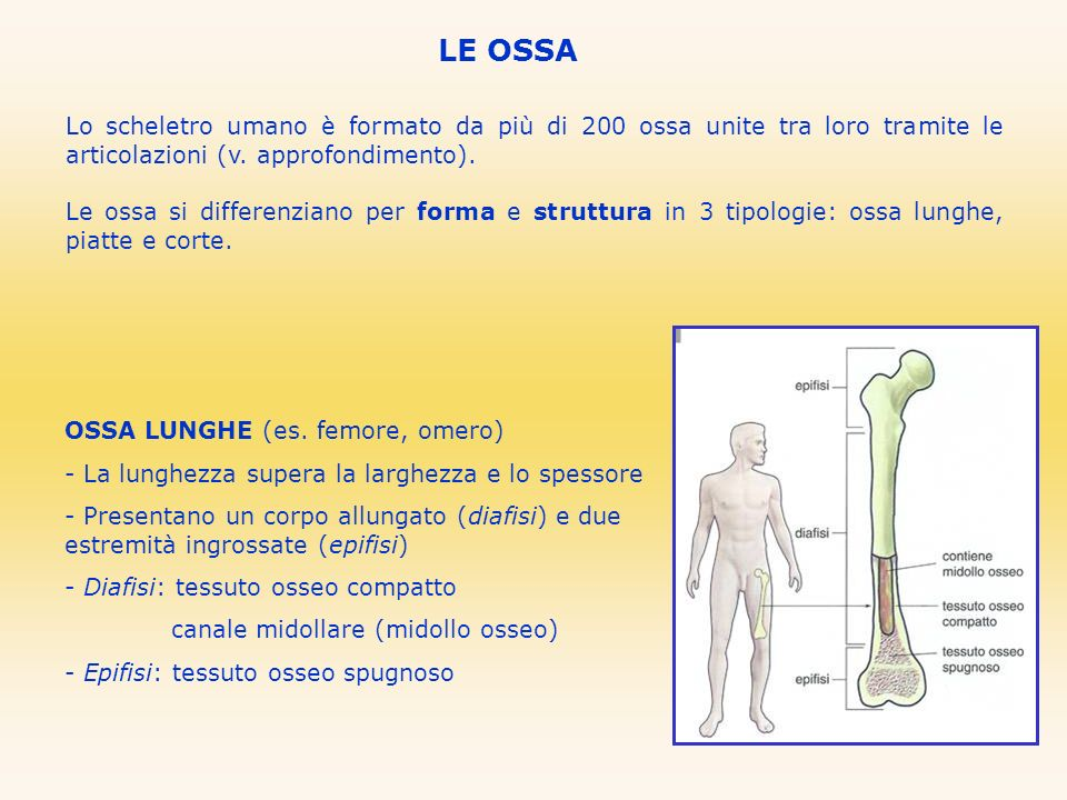 LE OSSALo scheletro umano è formato da più di 200 ossa unite tra loro tramite le articolazioni (v. approfondimento).