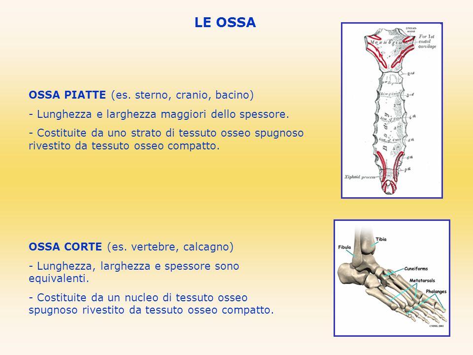 LE OSSA OSSA PIATTE (es. sterno, cranio, bacino)