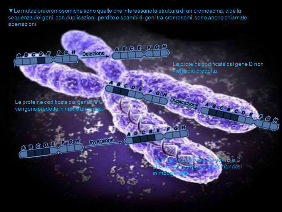 ▼Le mutazioni cromosomiche sono quelle che interessano la struttura di un cromosoma, cioè la sequenza dei geni, con duplicazioni, perdite e scambi di geni tra cromosomi; sono anche chiamate aberrazioni.