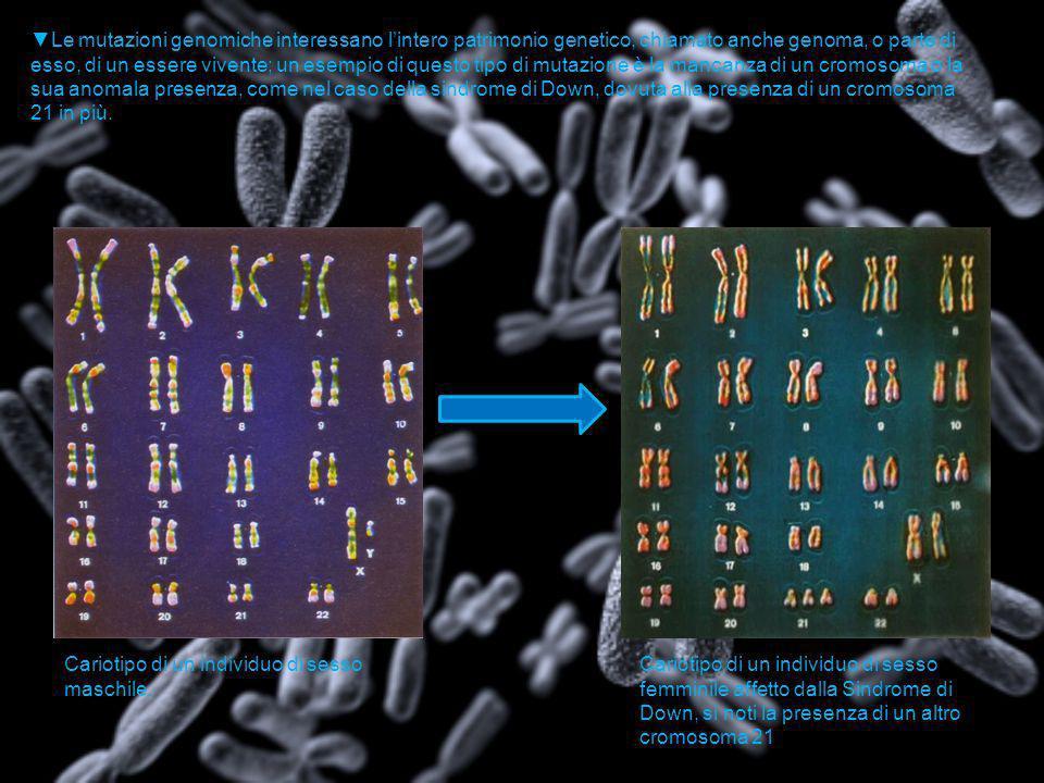▼Le mutazioni genomiche interessano l'intero patrimonio genetico, chiamato anche genoma, o parte di esso, di un essere vivente; un esempio di questo tipo di mutazione è la mancanza di un cromosoma o la sua anomala presenza, come nel caso della sindrome di Down, dovuta alla presenza di un cromosoma 21 in più.