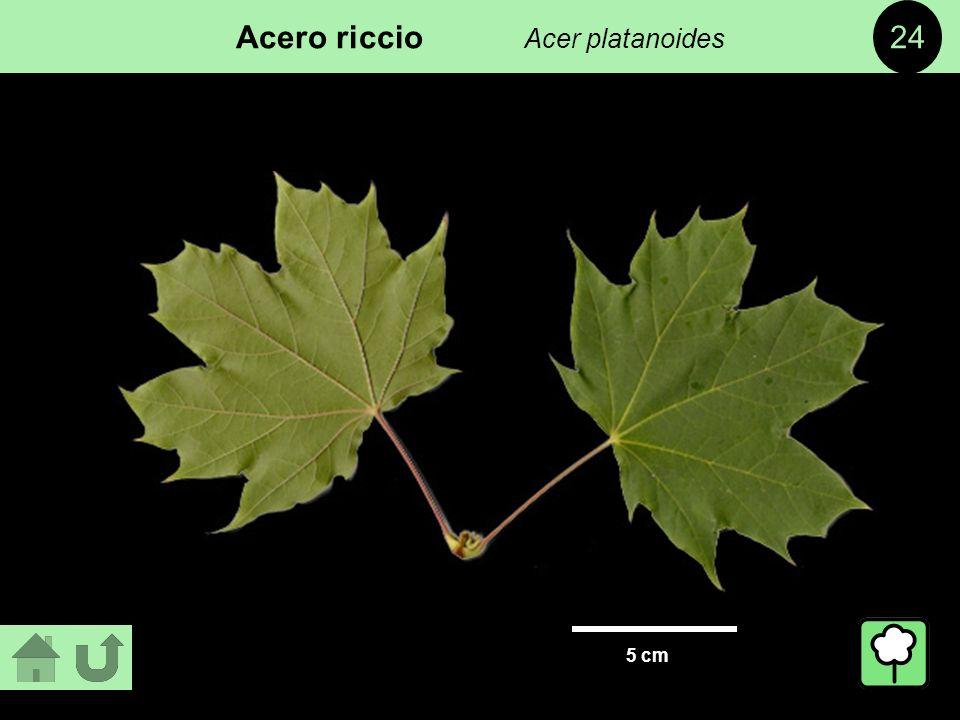 Fondazione villa ghigi ppt video online scaricare for Acero riccio