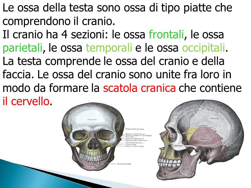 Le ossa della testa sono ossa di tipo piatte che comprendono il cranio.