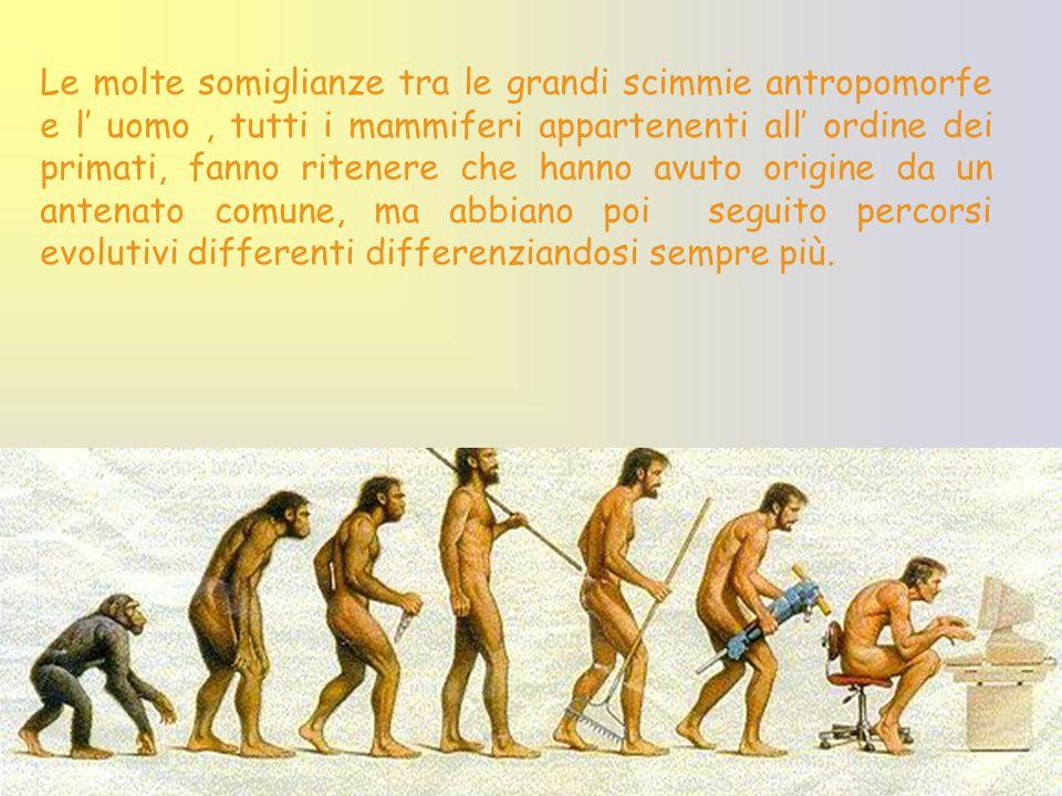Le molte somiglianze tra le grandi scimmie antropomorfe e l' uomo , tutti i mammiferi appartenenti all' ordine dei primati, fanno ritenere che hanno avuto origine da un antenato comune, ma abbiano poi seguito percorsi evolutivi differenti differenziandosi sempre più.