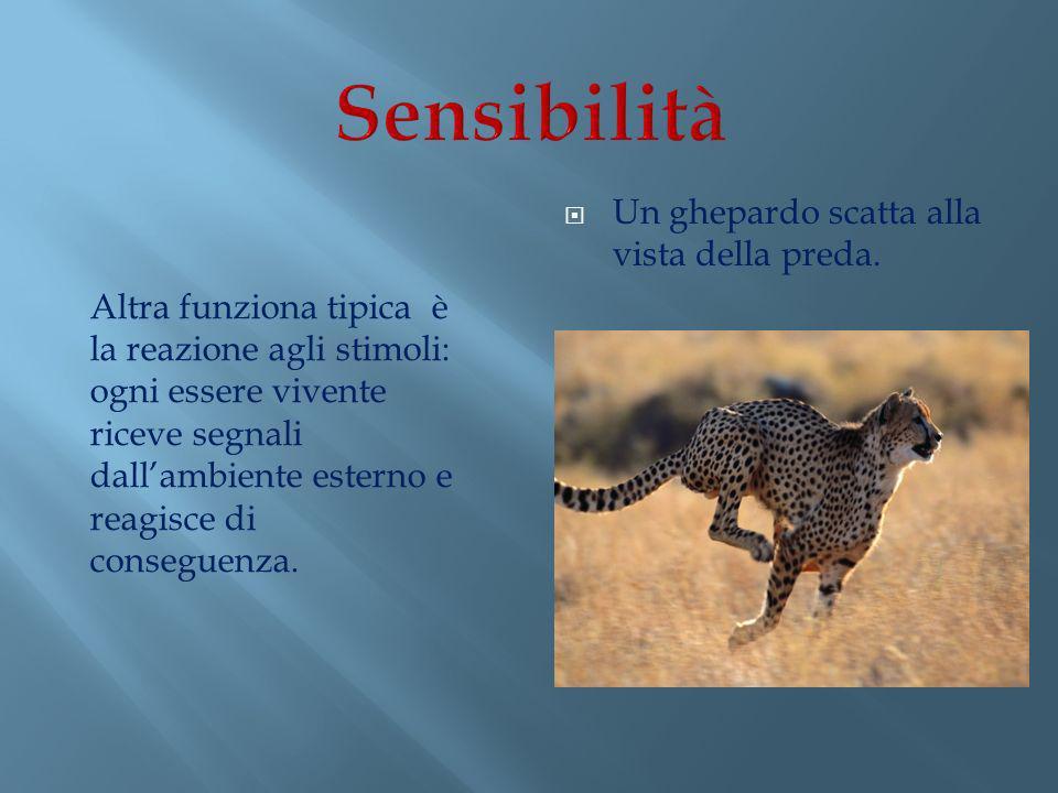 Sensibilità Un ghepardo scatta alla vista della preda.