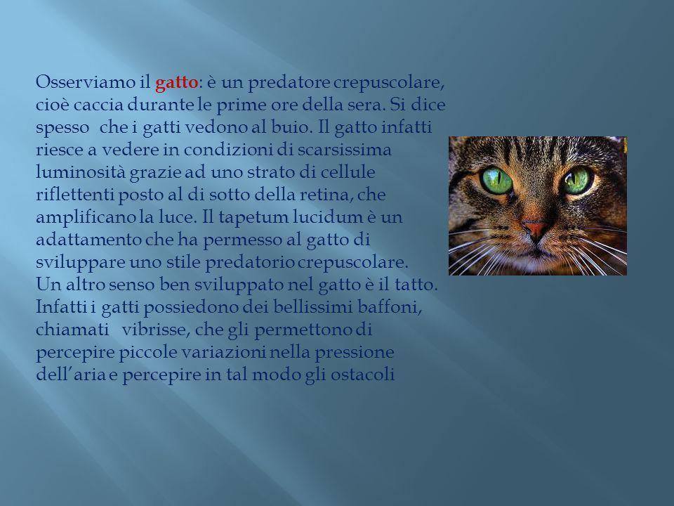 Osserviamo il gatto: è un predatore crepuscolare, cioè caccia durante le prime ore della sera.