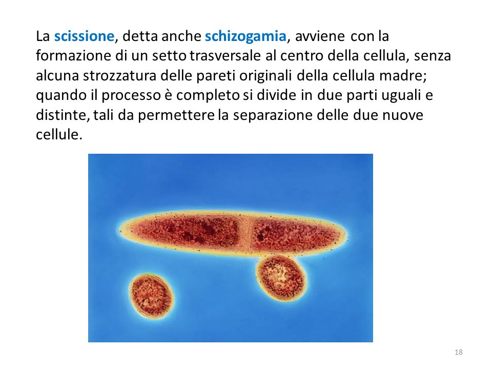 La scissione, detta anche schizogamia, avviene con la formazione di un setto trasversale al centro della cellula, senza alcuna strozzatura delle pareti originali della cellula madre; quando il processo è completo si divide in due parti uguali e distinte, tali da permettere la separazione delle due nuove cellule.