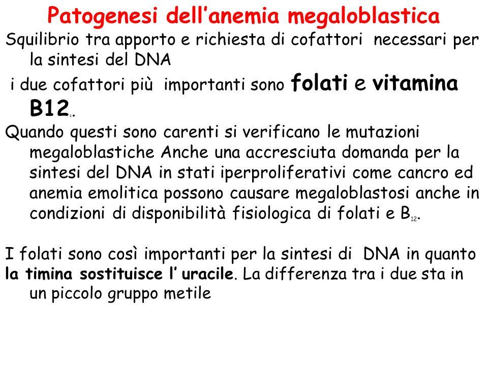 Patogenesi dell'anemia megaloblastica