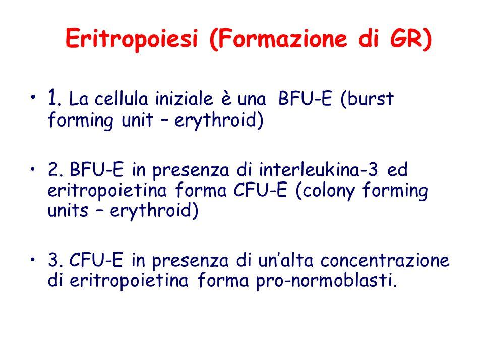 Eritropoiesi (Formazione di GR)