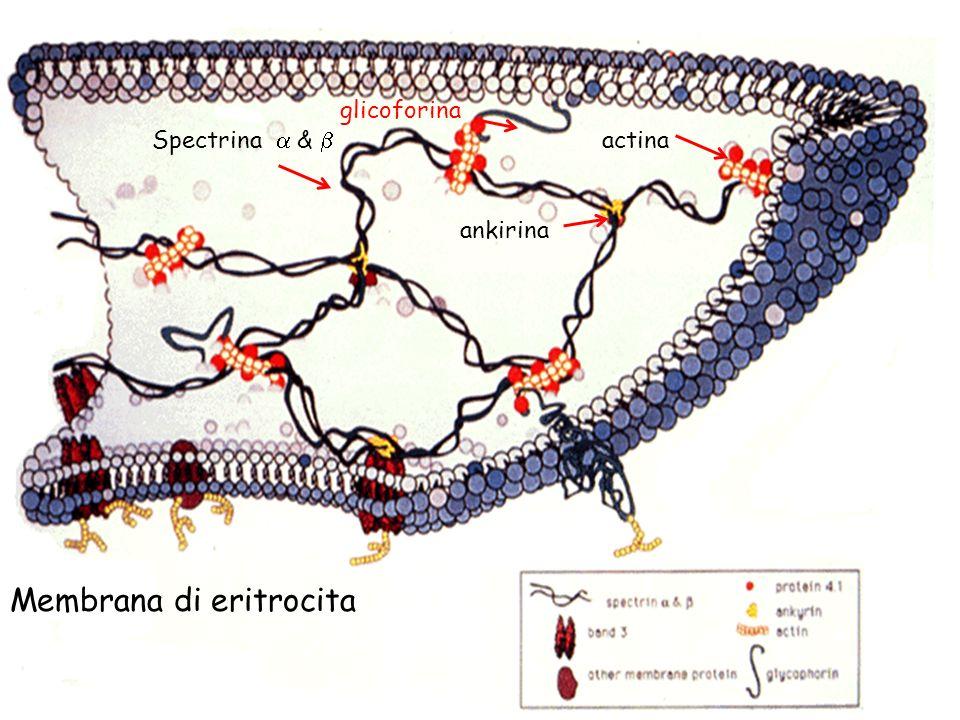 Membrana di eritrocita