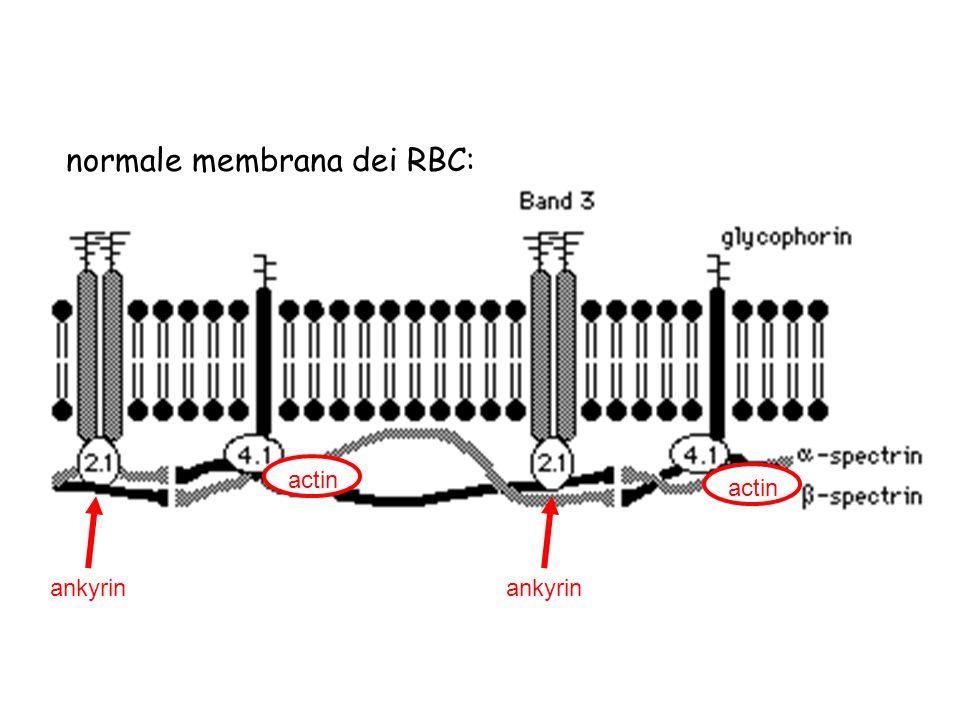 normale membrana dei RBC: