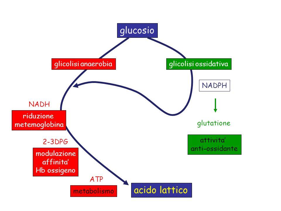 glucosio acido lattico glicolisi anaerobia glicolisi ossidativa NADPH
