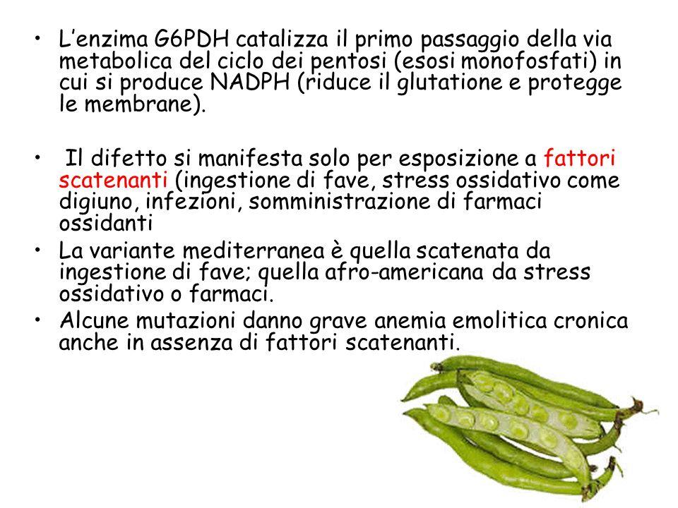L'enzima G6PDH catalizza il primo passaggio della via metabolica del ciclo dei pentosi (esosi monofosfati) in cui si produce NADPH (riduce il glutatione e protegge le membrane).