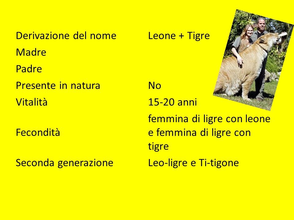 Derivazione del nome Leone + Tigre. Madre. Padre. Presente in natura. No. Vitalità. 15-20 anni.