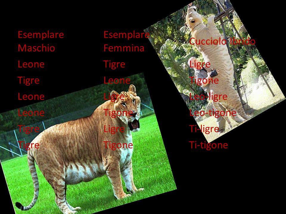 Esemplare Maschio Esemplare Femmina. Cucciolo Ibrido. Leone. Tigre. Ligre. Tigone. Leo-ligre.