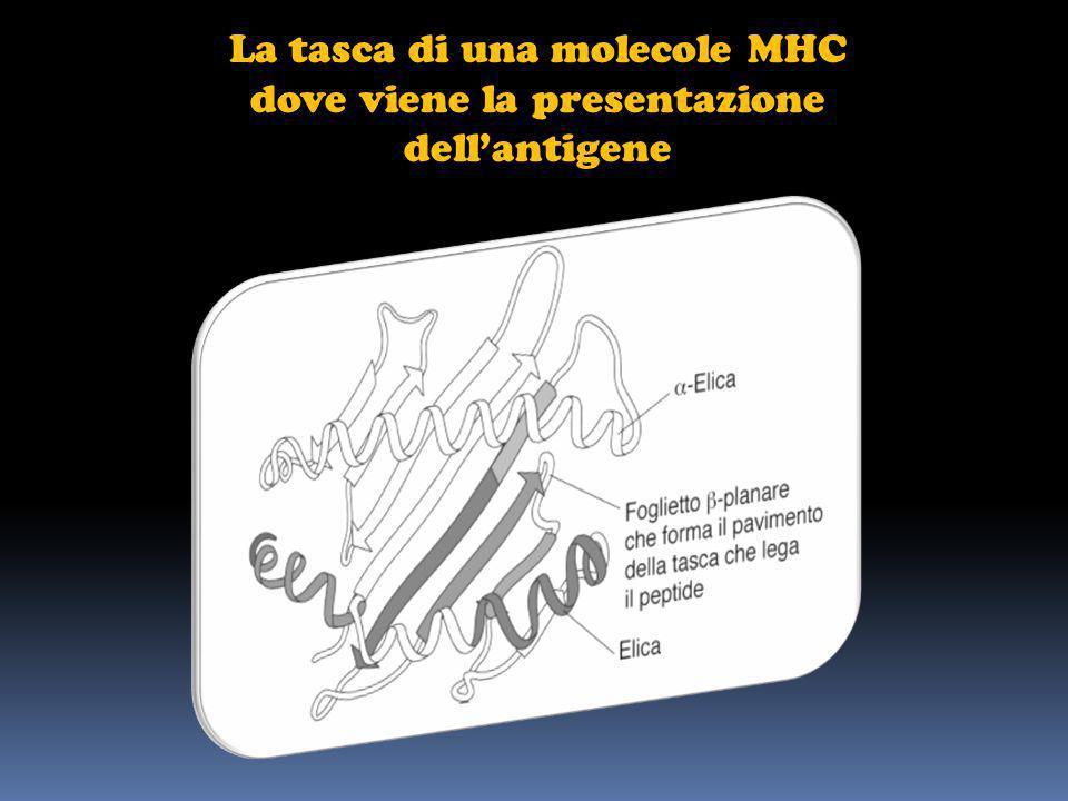 La tasca di una molecole MHC dove viene la presentazione dell'antigene