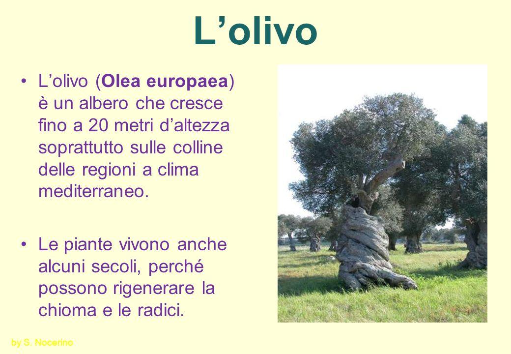 L'olivo L'olivo (Olea europaea) è un albero che cresce fino a 20 metri d'altezza soprattutto sulle colline delle regioni a clima mediterraneo.