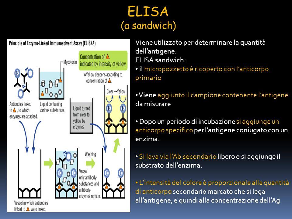 ELISA (a sandwich) Viene utilizzato per determinare la quantità dell'antigene. ELISA sandwich :