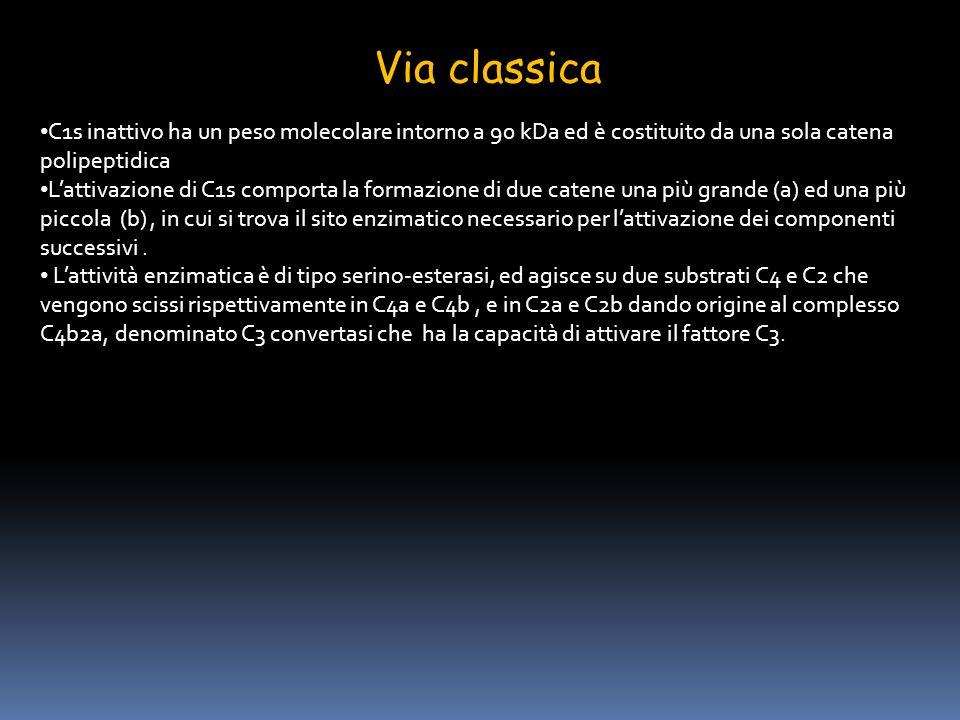 Via classica C1s inattivo ha un peso molecolare intorno a 90 kDa ed è costituito da una sola catena polipeptidica.
