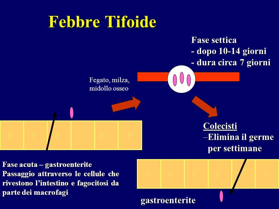 Febbre Tifoide Fase settica - dopo 10-14 giorni - dura circa 7 giorni