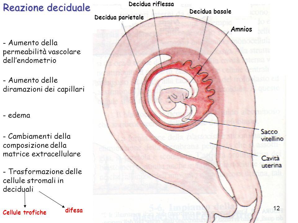 Reazione deciduale Decidua riflessa. Decidua basale. Decidua parietale. Amnios. - Aumento della permeabilità vascolare dell'endometrio.