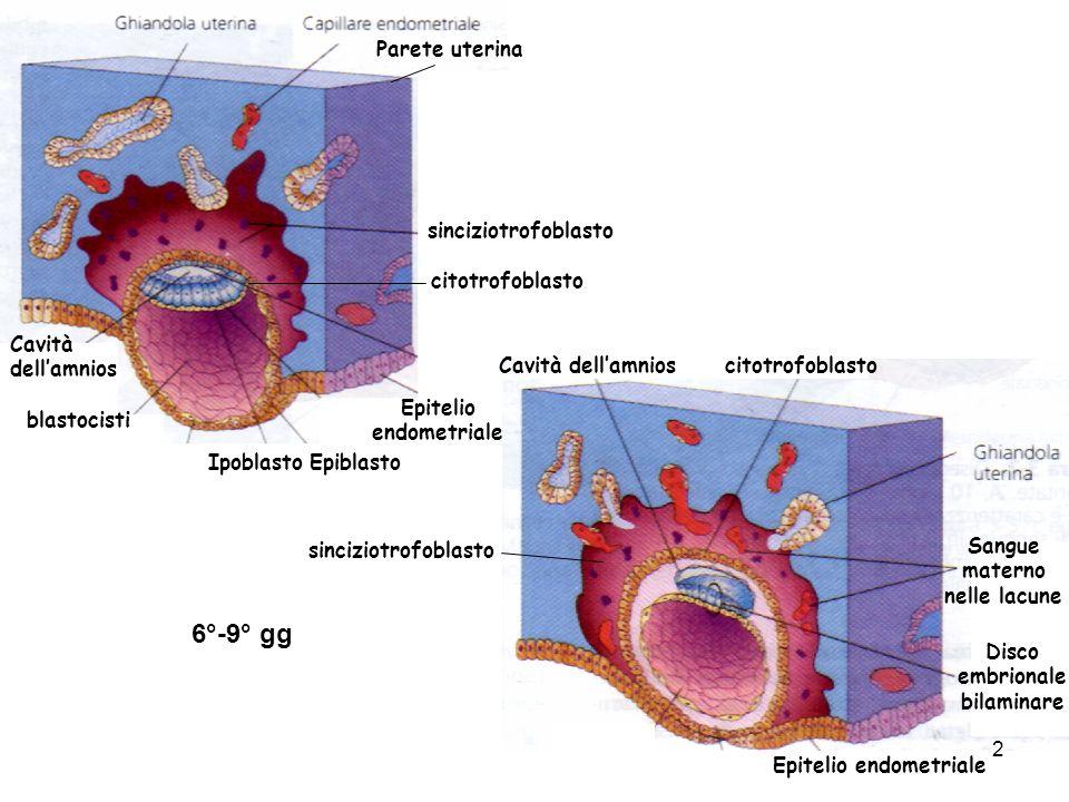 6°-9° gg Parete uterina sinciziotrofoblasto citotrofoblasto