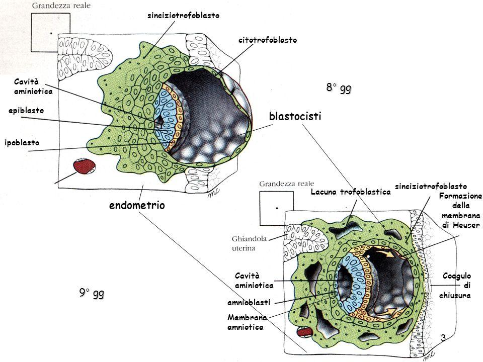 Formazione della membrana di Heuser