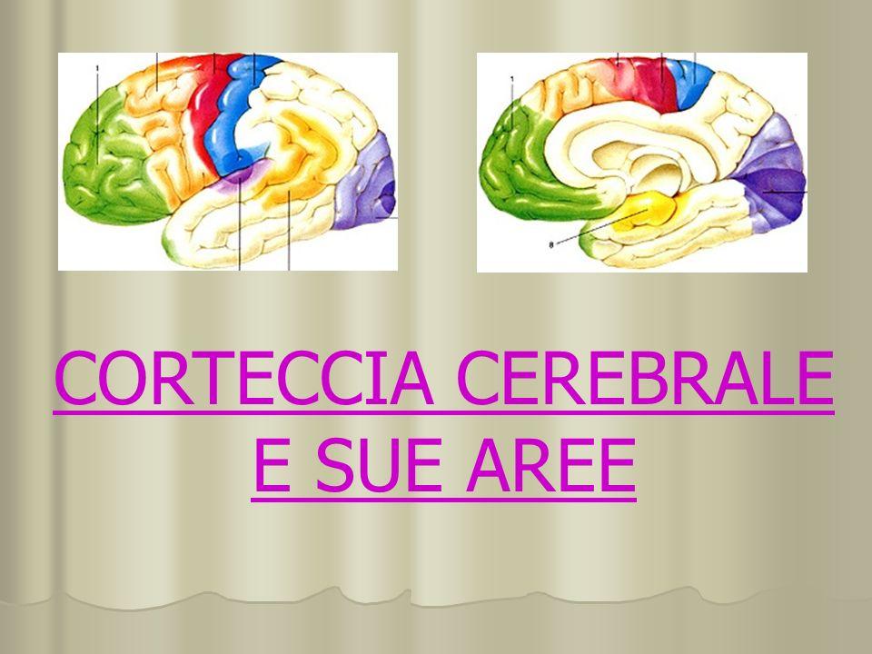 CORTECCIA CEREBRALE E SUE AREE