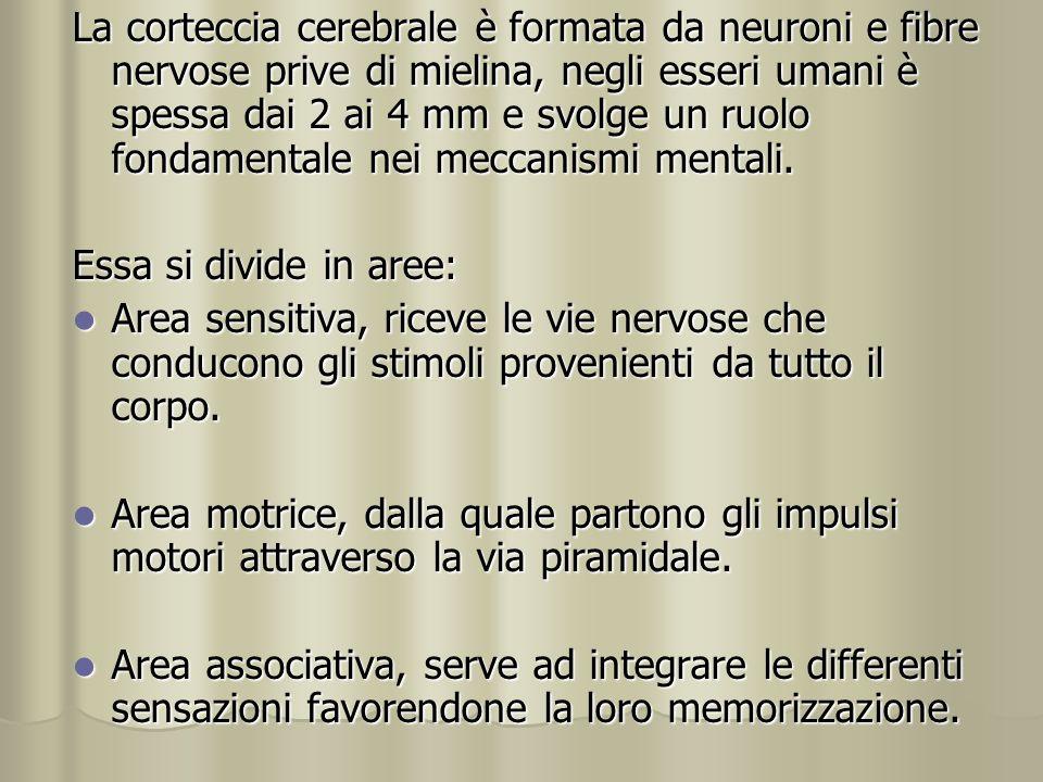 La corteccia cerebrale è formata da neuroni e fibre nervose prive di mielina, negli esseri umani è spessa dai 2 ai 4 mm e svolge un ruolo fondamentale nei meccanismi mentali.