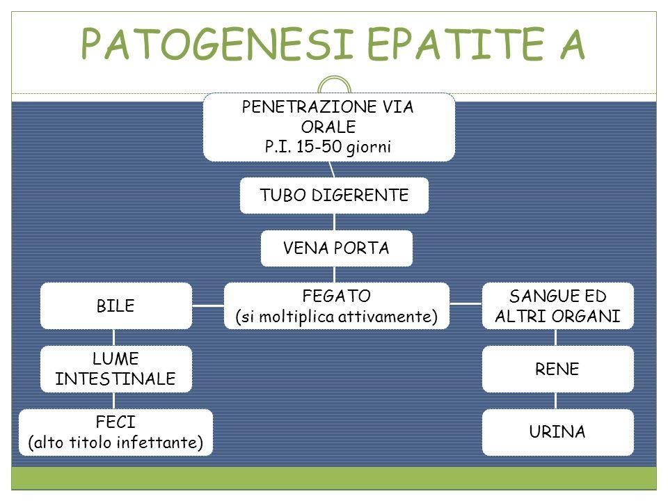 PATOGENESI EPATITE A PENETRAZIONE VIA ORALE P.I. 15-50 giorni