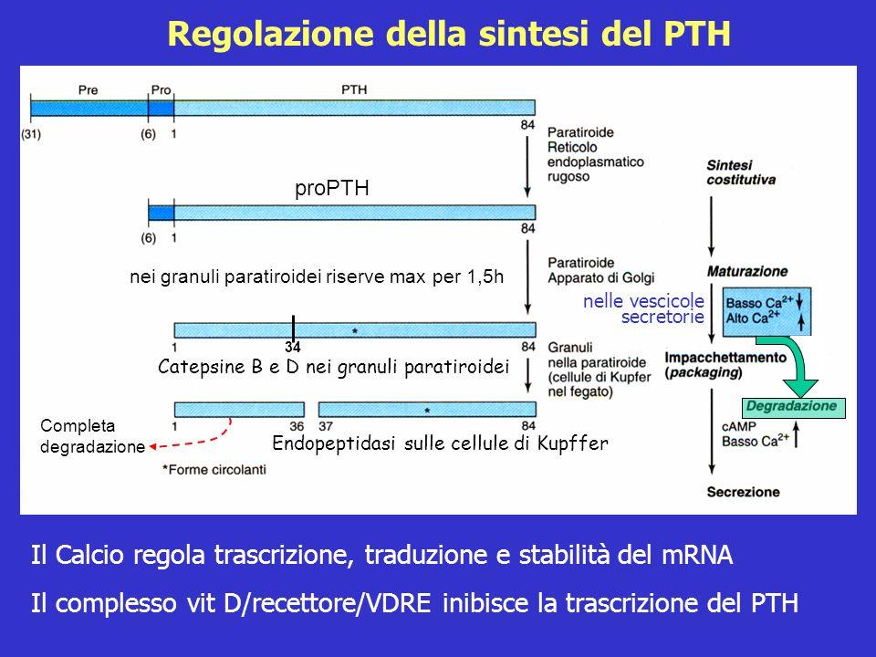 Regolazione della sintesi del PTH