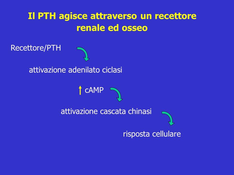 Il PTH agisce attraverso un recettore