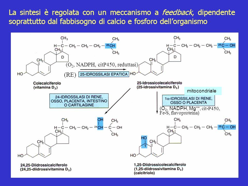 La sintesi è regolata con un meccanismo a feedback, dipendente soprattutto dal fabbisogno di calcio e fosforo dell'organismo