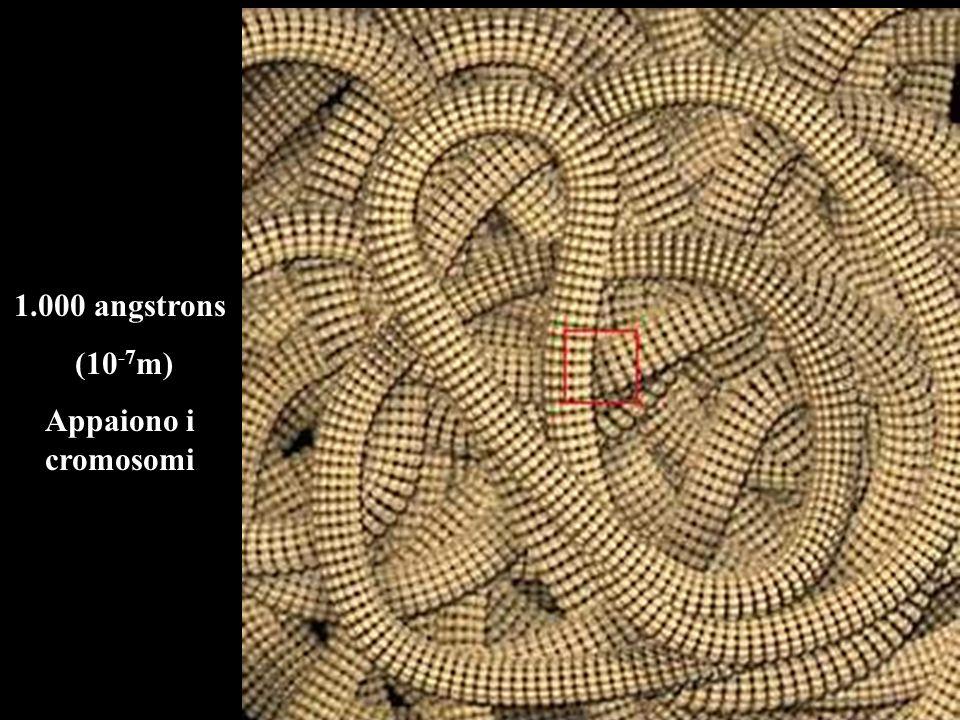 1.000 angstrons (10-7m) Appaiono i cromosomi