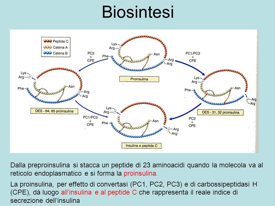 Biosintesi Dalla preproinsulina si stacca un peptide di 23 aminoacidi quando la molecola va al reticolo endoplasmatico e si forma la proinsulina.