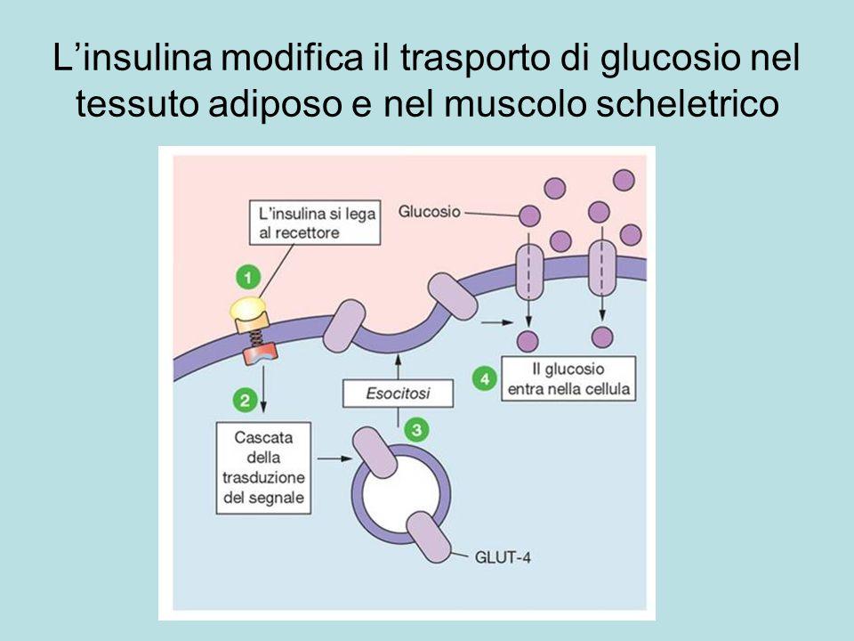 L'insulina modifica il trasporto di glucosio nel tessuto adiposo e nel muscolo scheletrico