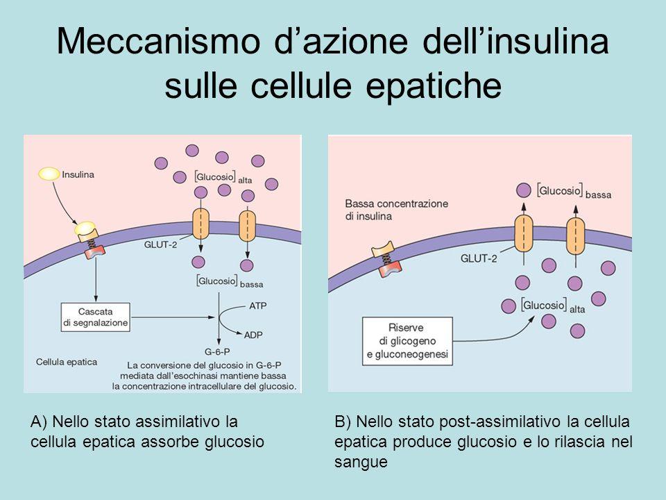 Meccanismo d'azione dell'insulina sulle cellule epatiche